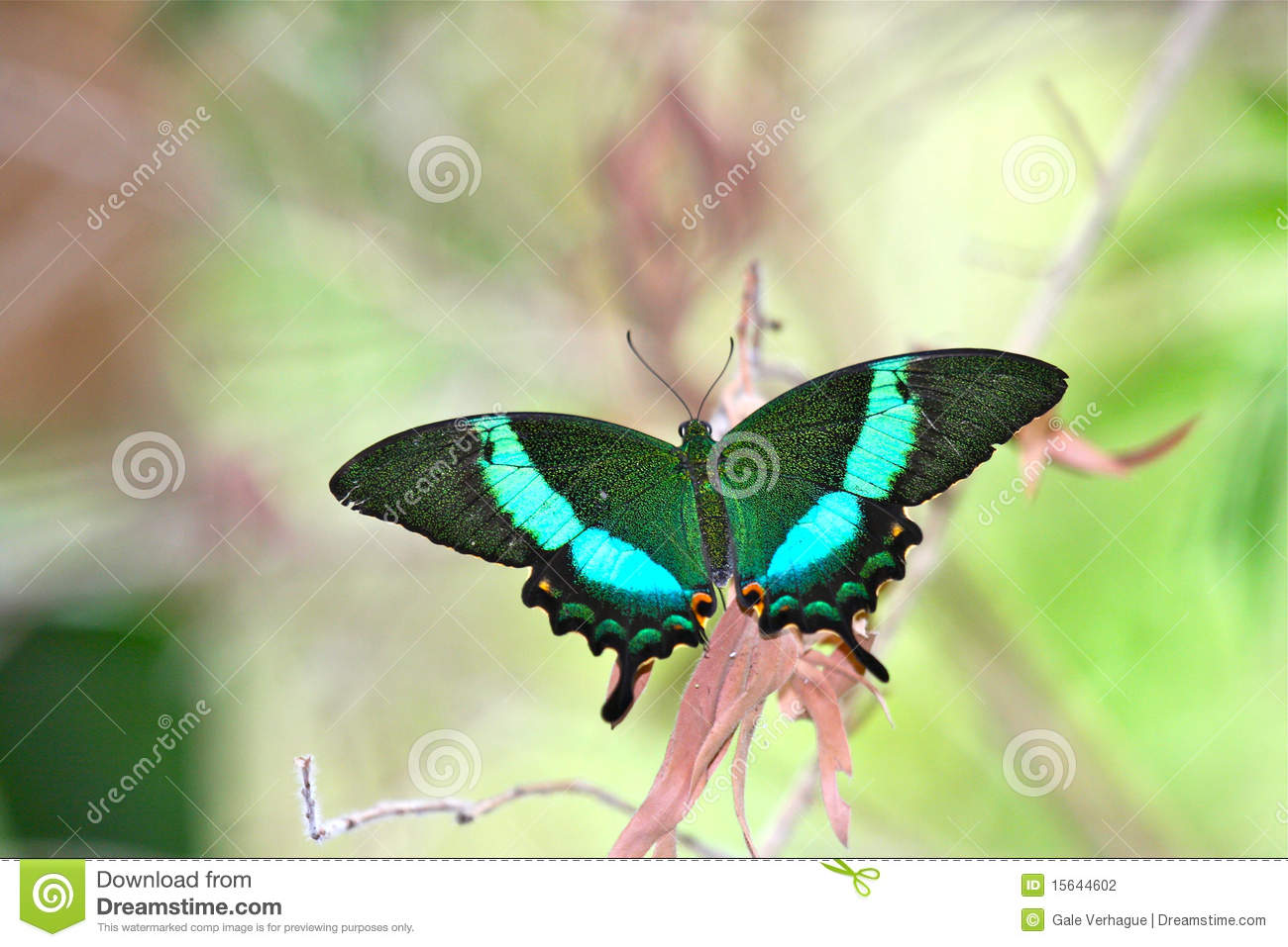 Emerald Peacock Swallowtail Butterfly Stock Photography.