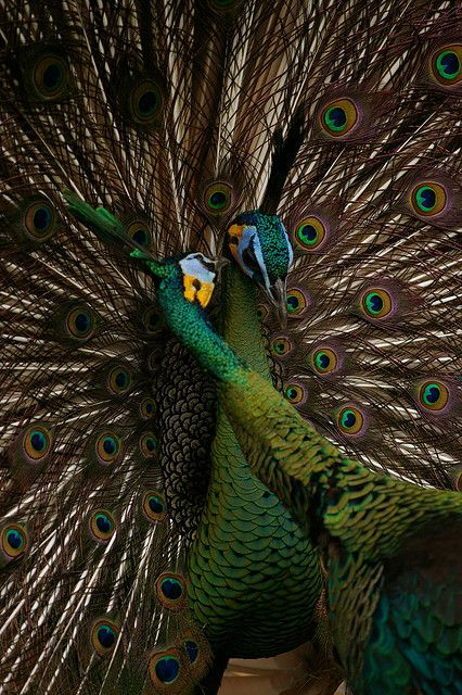 preening Emerald peafowl >> http://amykinz97.tumblr.com/ >> www.