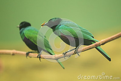 Emerald Starling.