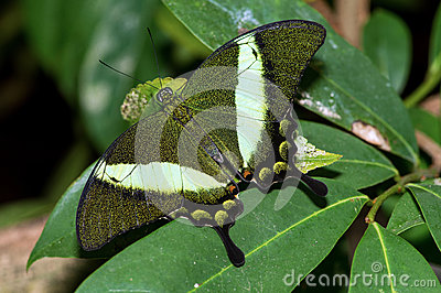 Emerald Swallowtail Butterfly Stock Photography.