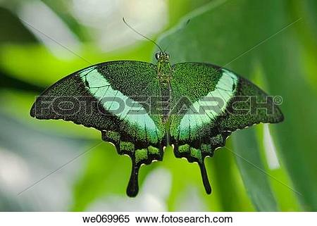 Stock Image of Banded peacock swallowtail butterfly native to.