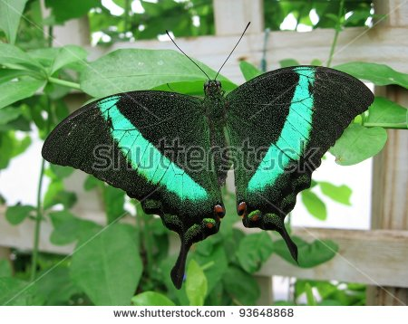 Emerald Swallowtail Butterfly Stock Photos, Royalty.