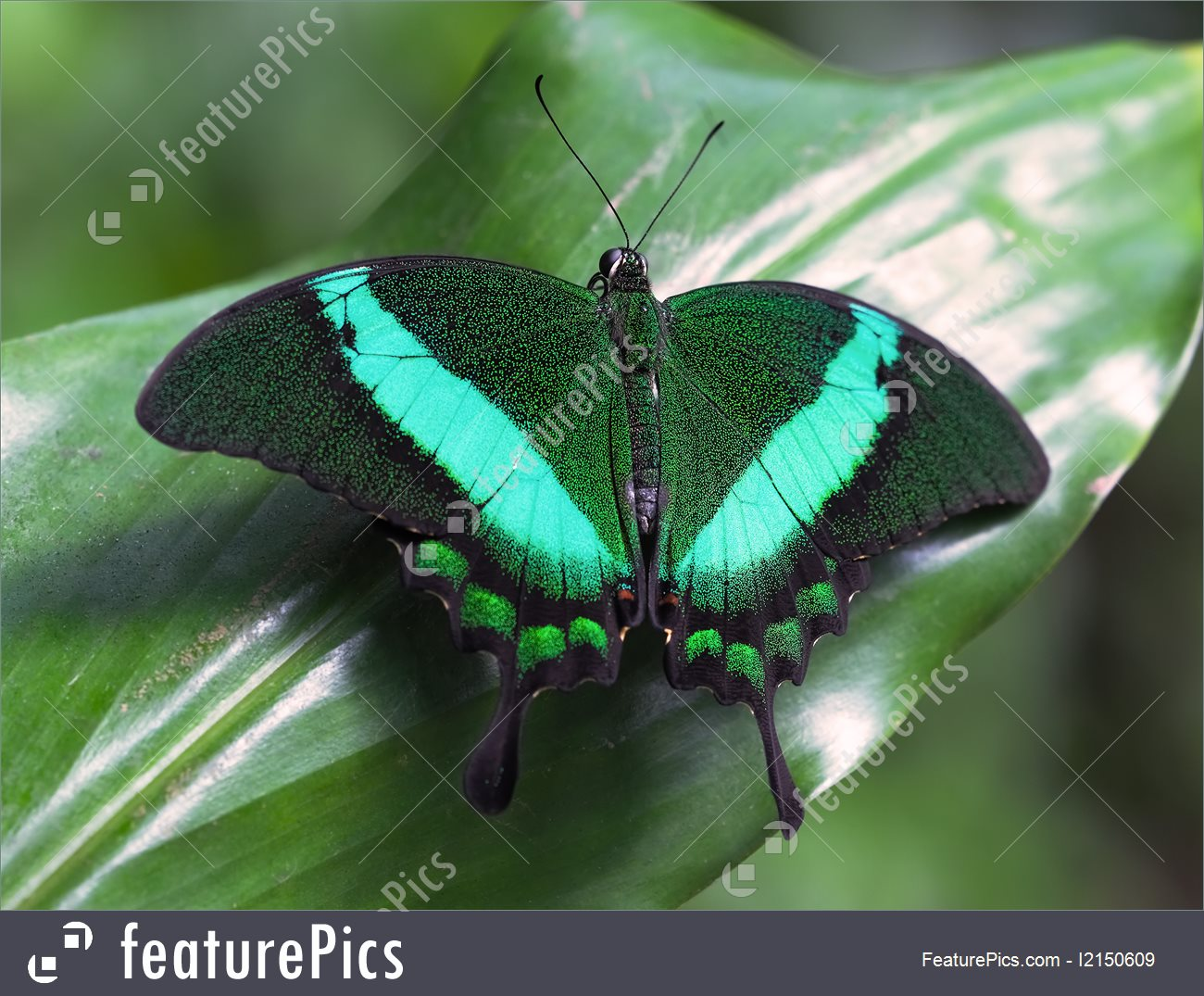 Picture Of Emerald Swallowtail.