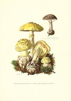 1963 Emetic Russula, Botanical Print, Vintage Lithograph, Russula.