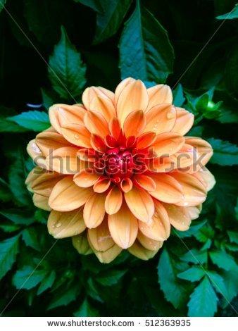 """""""pink_chrysanthemum_orange"""" Stock Photos, Royalty."""
