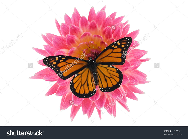 Monarch Butterfly On Dahlia Flower Stock Photo 17169601.