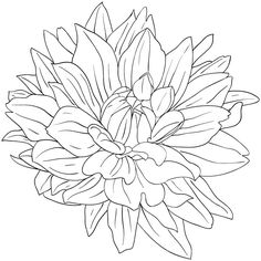 Chrysanthemum Flower Drawing.