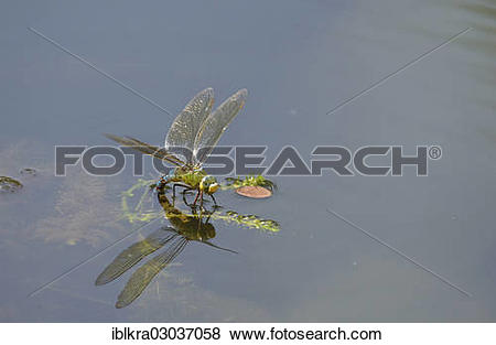 "Pictures of ""Emperor Dragonfly or Blue Emperor (Anax imperator."