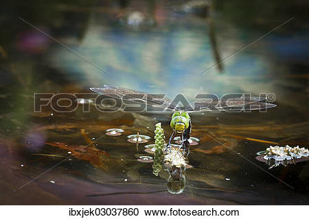 "Stock Photography of ""Emperor Dragonfly or Blue Emperor (Anax."