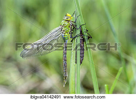 Stock Photography of Newly hatched emperor dragonfly or blue.