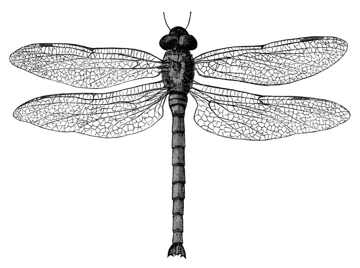 1000+ ideas about Dragonfly Illustration on Pinterest.