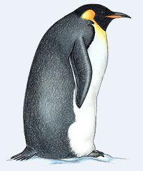 1000+ ideas about Emperor Penguin Facts on Pinterest.