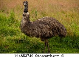 Emu Stock Photos and Images. 2,188 emu pictures and royalty free.