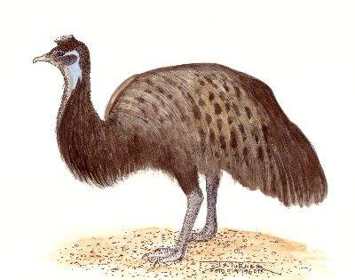 Emu Bird Clip Art.
