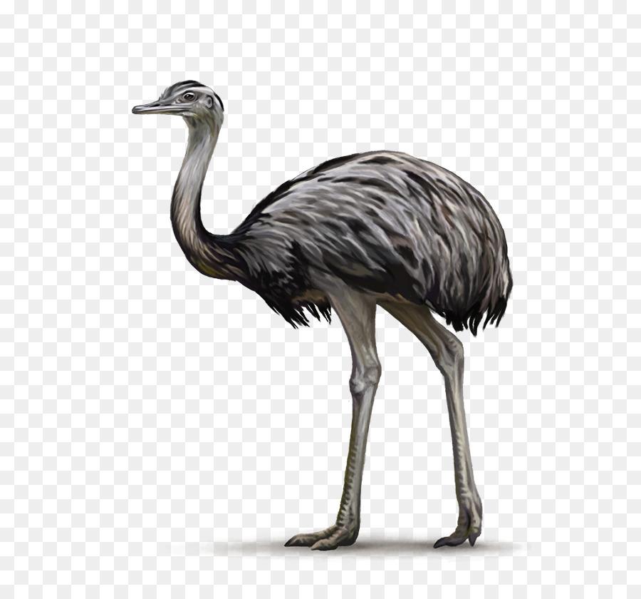 Kiwi Bird Clipart.