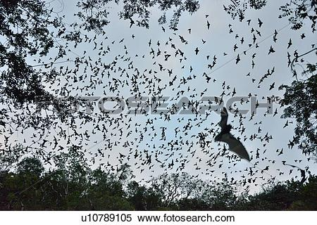 "Stock Image of ""Bats leaving cave to feed at sunset, Calakmul."