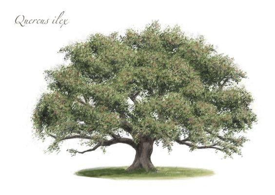 Quercus ilex. #Encina #Carrasca Dibujo de Santi Martín.