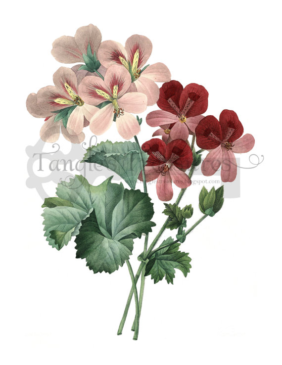 French Watercolor Geranium Clipart: High by VerdigrisStudios.