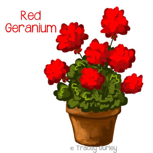 Potted geranium.