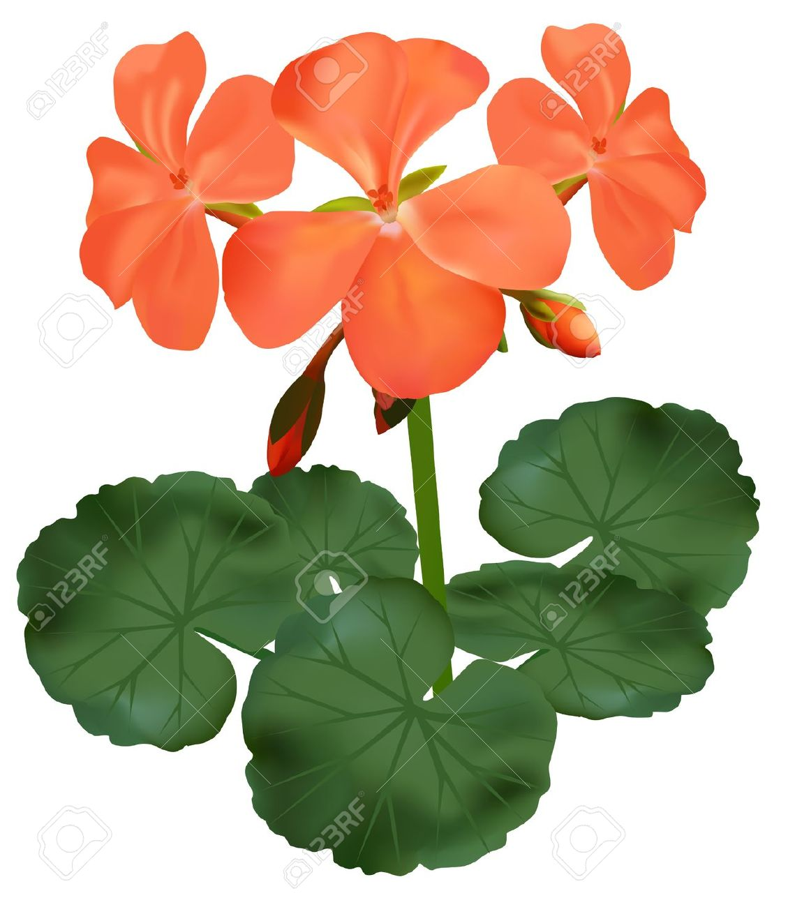 Vector Illustration Of Blooming Geranium Royalty Free Cliparts.