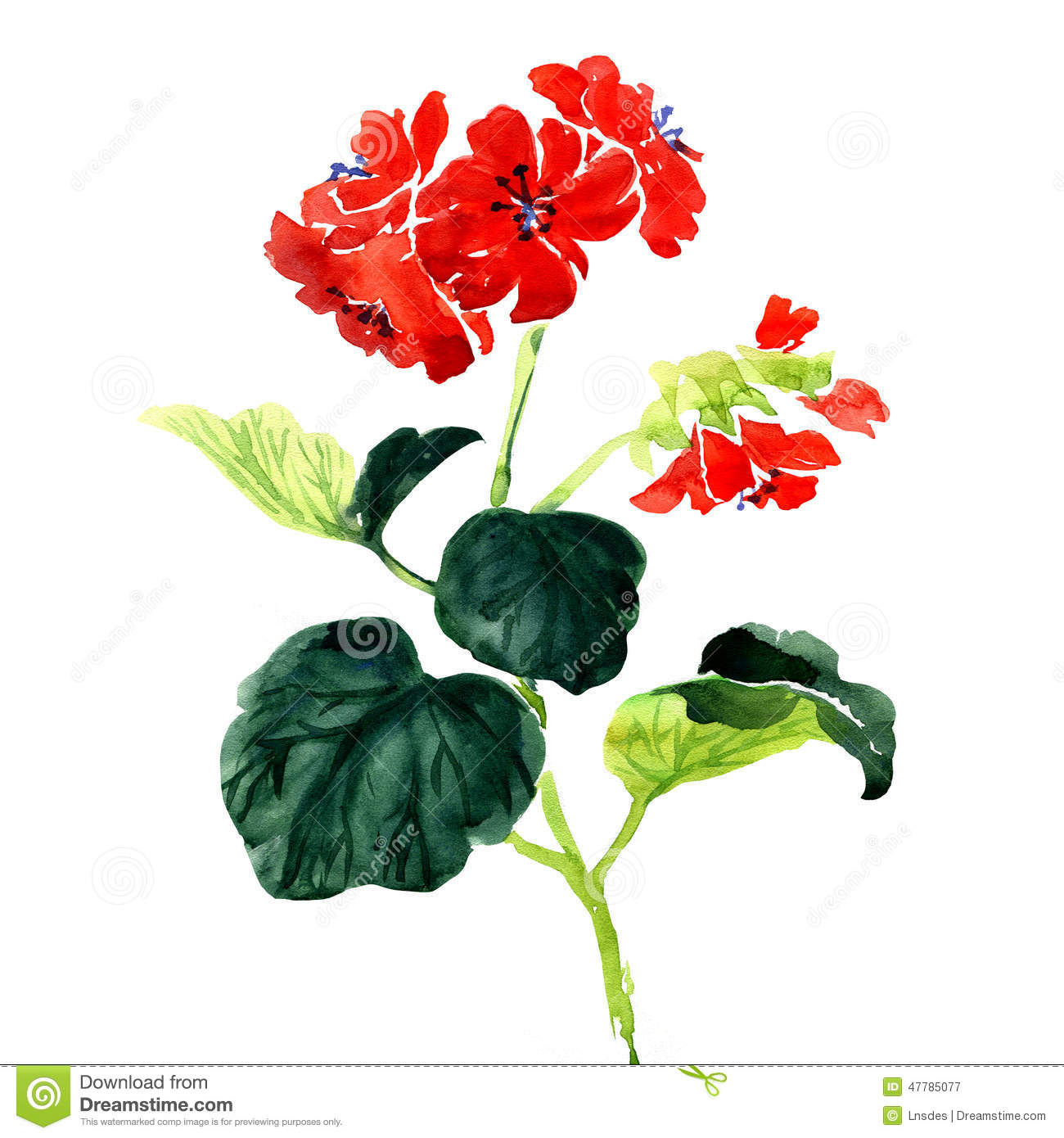 Pelargoniums clipart - Clipground