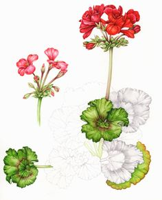 Geranium, by Sue Woodfine.