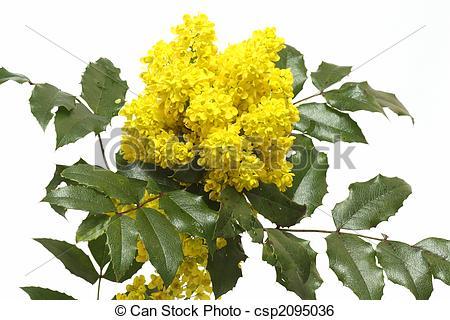 Stock Image of English Holly (Ilex aquifolium) Branches with.