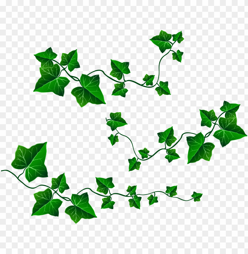 royalty free stock english ivy clipart.