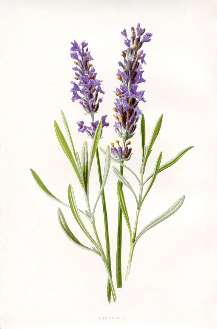 Lavender Clipart.