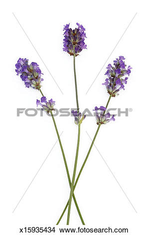 Stock Photo of Three freshly picked stems of English lavender.