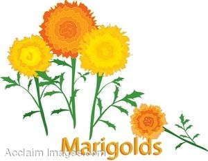 Clip Art of Yellow Marigolds.