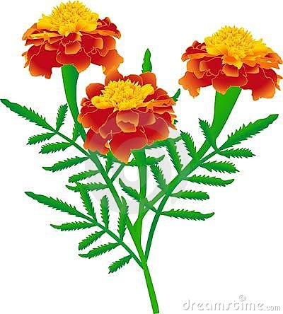 Marigolds Stock Illustrations.