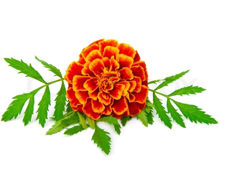 Marigold clip art free.