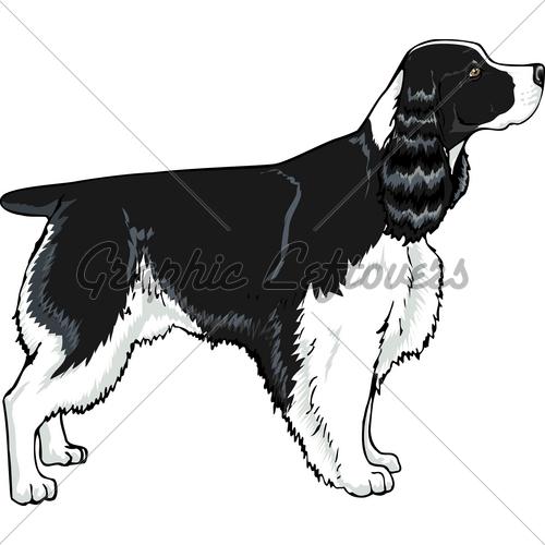 Springer Spaniel Black · GL Stock Images.
