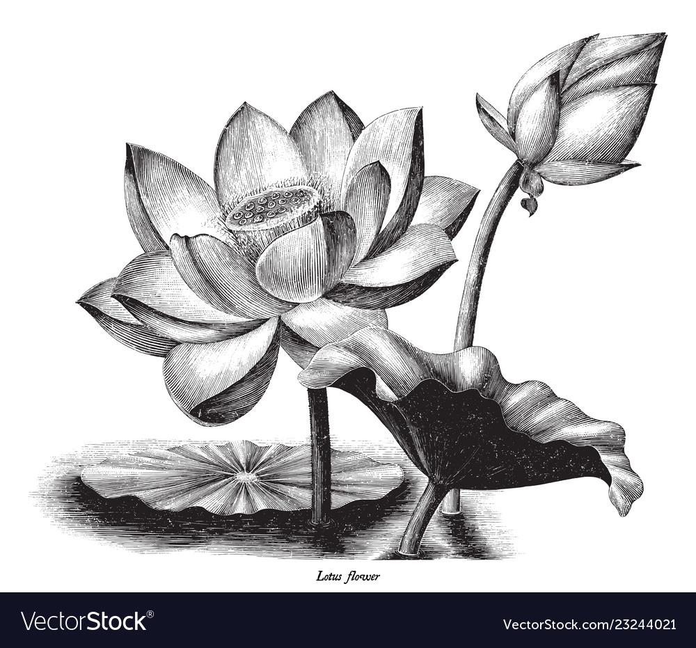 Lotus flower botanical vintage engraving clip art.