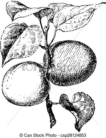 Apricot, vintage engraving..