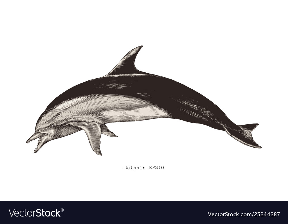 Dolphin hand drawing vintage engraving clipart.