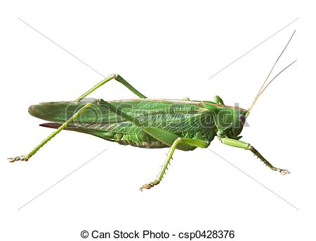 Stock Image of GRASSHOPPER; FAMILY OF THE LONG FEELER FRIGHTS.