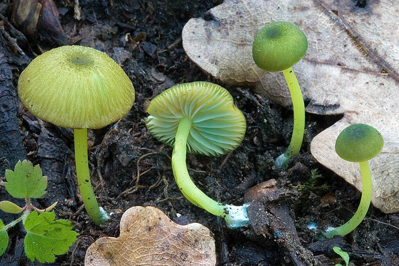 1000+ images about green mushroom on Pinterest.