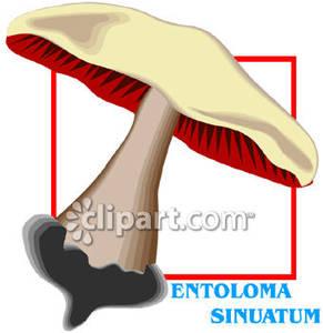 Entoloma_Sinuatum_Mushroom_Royalty_Free_Clipart_Picture_081219.
