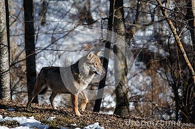Italian Wolf Canis Lupus Italicus Stock Photo.