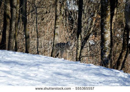 Female Snow Wolf Stock Photos, Royalty.