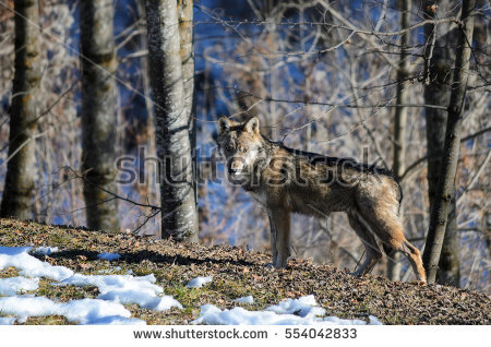 Wolf Stare Stock Photos, Royalty.