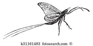 Ephemeroptera Illustrations and Stock Art. 2 ephemeroptera.