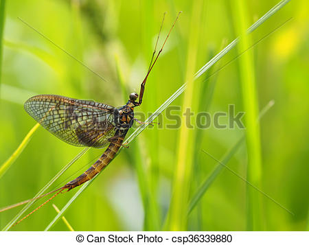 Pictures of closeup of mayfly (Ephemeroptera) on leaf csp36339880.