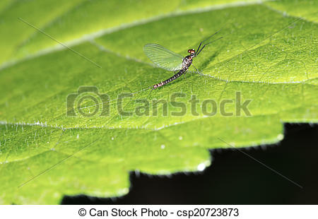 Picture of Mayfly aka Shadfly.