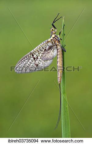 """Stock Photo of """"Mayfly (Ephemeroptera), Tyrol, Austria, Europe."""