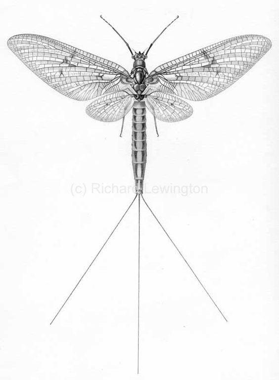 Ephemeroptera Hemimetabolous OCN: Mayflies.