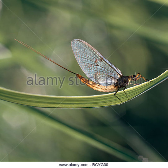 Mayfly Flying Stock Photos & Mayfly Flying Stock Images.