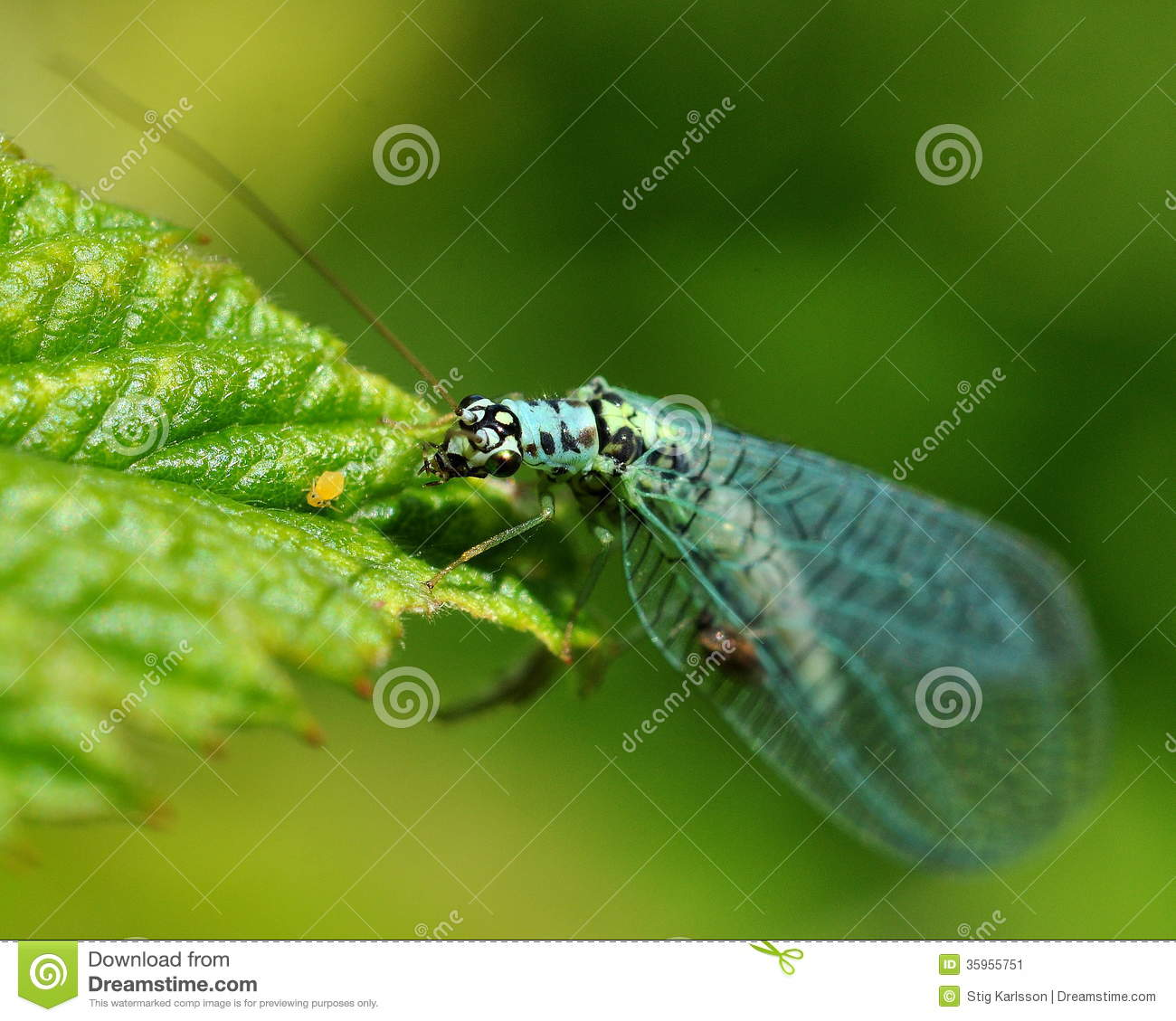 Day Fly Ephemeroptera In The Green Stock Image.